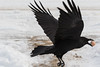 Raven flying away with an egg. Part of bird out of field of focus.