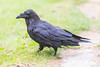 Adult raven walking on lawn. Nictating membrame over eye partially visible.