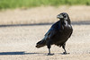Raven on road, nictating membrame over eye.