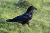 Raven walking in grass.