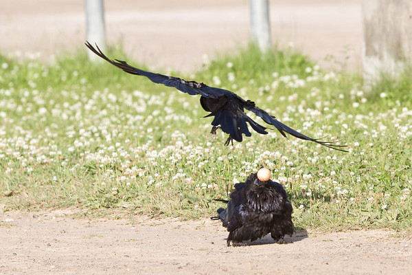 Raven crouches to avoid harrassing crow.