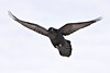Raven in flight, wings outstretched