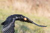 Raven flying with brown egg in beak. Wingtips out of focus and one out of frame.