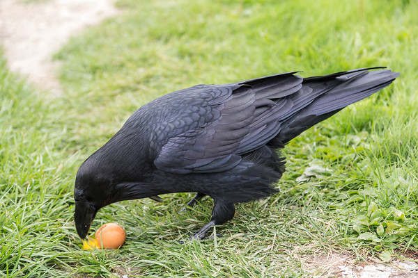 Raven eating egg on the ground.