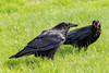 Juvenile raven begs for food from an adult raven with nictating membrane partially over eye.