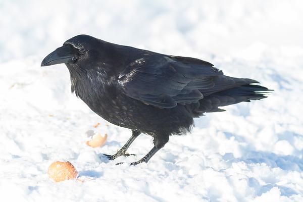 Raven on snow near an egg.