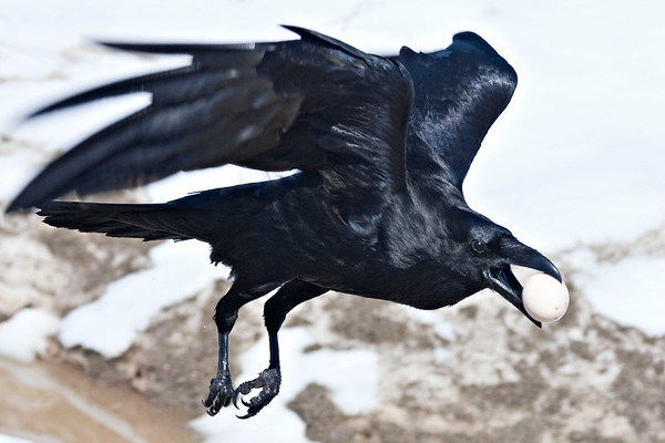 Raven flying with egg close to ground
