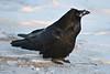 Common Raven on light snow.