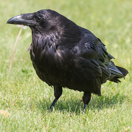 Raven in short grass.