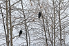Two Common Ravens in trees on a snowy day.