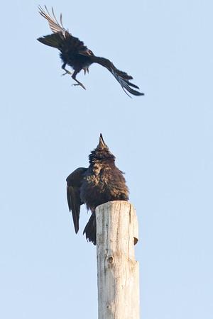 Crow harrassing a raven sitting on a utility pole.