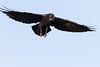 Raven in flight. One wing tip out of frame, wings spread, beak open.