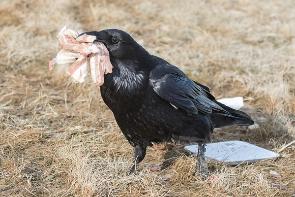Raven on the ground with several pieces of meat in its beak.