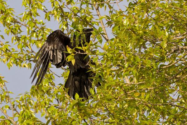 Raven landing in a tree.