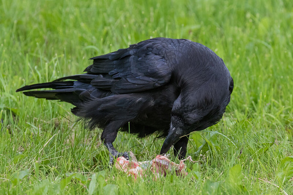 Adult raven with a piece of meat.