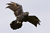 Raven overhead, wings half outstretched, left wingtip out of focus