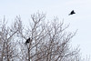 Crow harassing a raven in a tree in Moosonee.