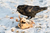 Raven contemplating what is left of a turkey.