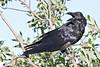 Raven in tree, head turned, beak open.