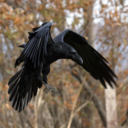 Raven with wings bent, close to ground