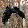 Raven with wings bent, close to ground 2004 October 23