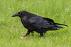 Adult raven with meat and nictating membrane over eye.