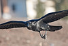 Raven in flight, wings outstretched, wing tips out of frame