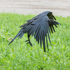 Juvenile raven flying off with lard in its beak.