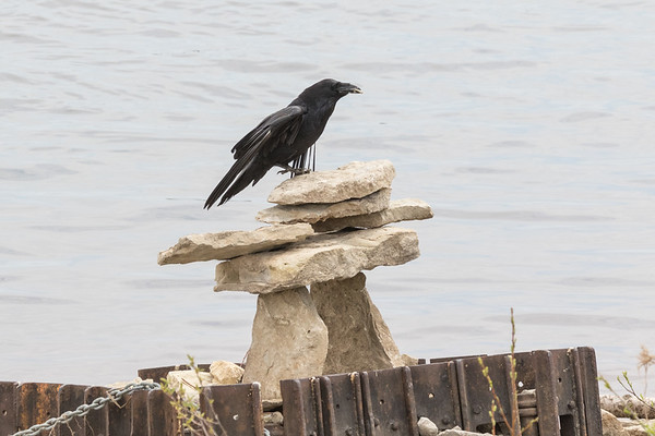 Raven sitting on Inukshuk near public docks in Moosonee.