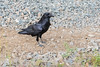Raven along the tracks.