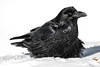 Raven in the snow. Color efx dark contrast.