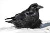 Raven in the snow. Color efx dark contrast.