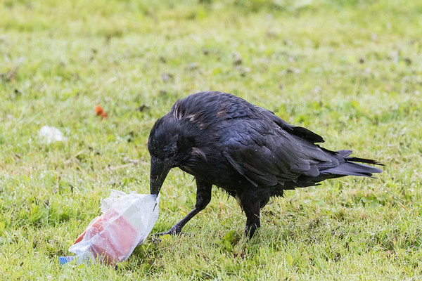 Raven opening a plastic bag stuffed with bologna on a rainy day.