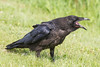 Juvenile raven with beak open. Calling.