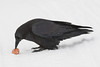 Raven enjoying an egg on a cold morning in Moosonee.