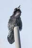 Raven on vent stack, croaking.