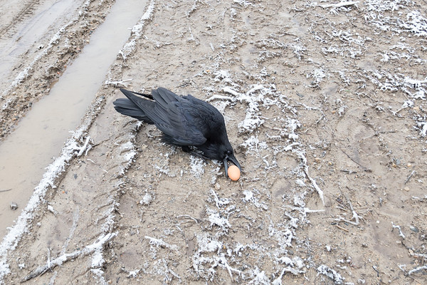 Raven picking up an egg on Henry Crescent.