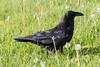 Adult raven exploring overgrown lawn.