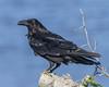 Raven on a log.