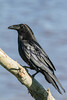 Raven on a branch.