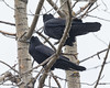 Two ravens in a tree. Neither looking at the photographer.