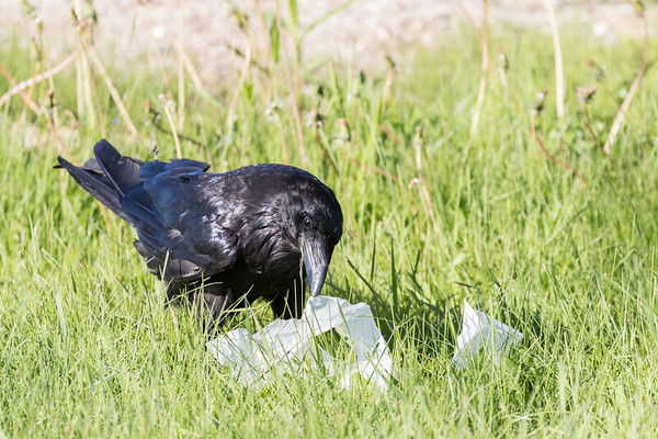 Adult raven opening a package of lard.