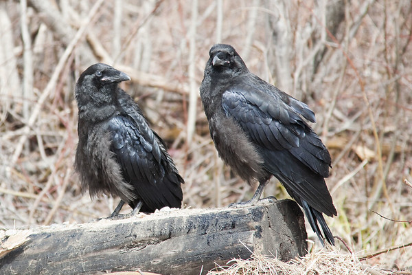 Two juvenile ravens on a piece of wood