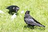 Two ravens near a chunk of lard on the lawn.