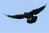 Raven in flight, wings out straight.