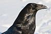 Raven headshot