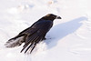 Raven using wings for balance and lift while walking in soft snow