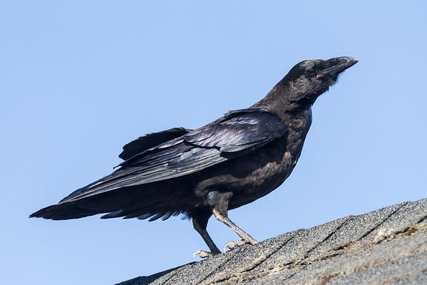 A juvenile raven on a roof.