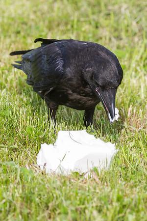 Raven lard preference test-juvenile eating lard.