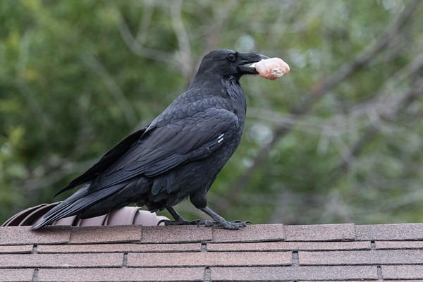Raven on the ridge of the roof with a chicken drumstick.
